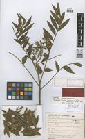 Isotype of Picramnia excelsa Kuhlm.ex J.R.Pirani [family SIMAROUBACEAE]