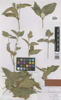 Type of Chaetothylax vestitus Rizzini [family ACANTHACEAE]