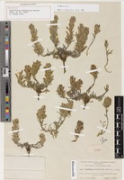 Holotype of Castilleja lapidicola A. Heller [family OROBANCHACEAE]
