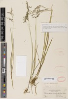 Isotype of Panicularia nervata var. stricta Scribn. [family POACEAE]