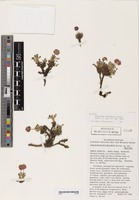 Isotype of Eriogonum holmgrenii Reveal [family POLYGONACEAE]