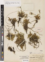 Isotype of Raillardella nevadensis A. Nelson & P.B. Kenn. [family ASTERACEAE]
