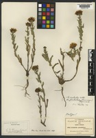Isotype of Grindelia glandulosa Greenm. [family ASTERACEAE]
