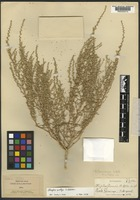 Holotype of Atriplex greenei A. Nelson [family AMARANTHACEAE]