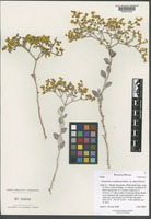 Isotype of Eriogonum corymbosum Benth. var. nilesii Reveal [family POLYGONACEAE]