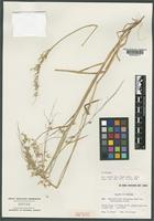 Syntype of Rhynchelytrum dregeanum Nees var. intermedium Chiov. [family POACEAE]