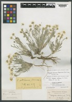 Isotype of Erigeron setulosus Greene [family ASTERACEAE]