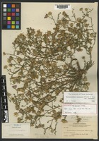 Holotype of Machaeranthera ramosa A. Nelson [family ASTERACEAE]