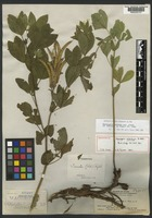 Holotype of Thermopsis xylorrhiza A. Nelson [family FABACEAE]