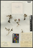Holotype of Talinum eximium A. Nelson [family PORTULACACEAE]