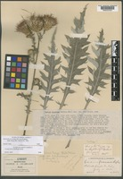 Isotype of Carduus floccosus Rydb. [family ASTERACEAE]