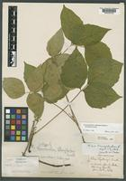 Syntype of Toxicodendron fothergilloides Lunell [family ANACARDIACEAE]