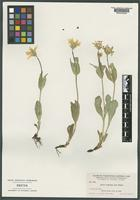 Syntype of Arnica caespitosa A. Nelson [family ASTERACEAE]