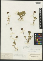 Isotype of Trifolium montanense Rydb. [family FABACEAE]