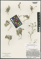 Isotype of Astragalus lackschewitzii Lavin & H. Marriott [family FABACEAE]
