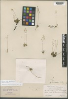Holotype of Draba cruciata Payson [family BRASSICACEAE]