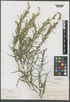 Paratype of Artemisia dracunculoides Pursh var. wolfii Rydb. [family ASTERACEAE]