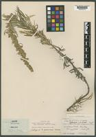 Isotype of Artemisia neomexicana Greene [family ASTERACEAE]