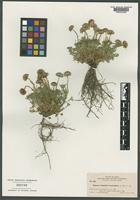 Isotype of Erigeron compositus Pursh var. breviradiatus A. Nelson [family ASTERACEAE]