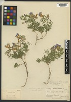 Holotype of Vicia caespitosa A. Nelson [family FABACEAE]