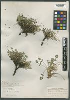 Isotype of Aletes humilis J. M. Coult. & Rose [family APIACEAE]