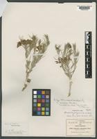 Holotype of Amsonia filiformis A. Nelson [family APOCYNACEAE]
