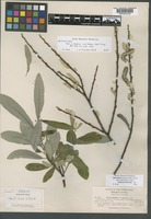 Isolectotype of Salix bakeri von Seemen [family SALICACEAE]