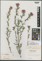 Isotype of Castilleja clokeyi Pennell [family OROBANCHACEAE]