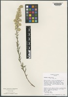 Paratype of Solidago juliae G. L. Nesom [family ASTERACEAE]