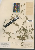 Isotype of Allionia pratensis Standl. [family NYCTAGINACEAE]