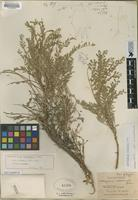 Holotype of Astragalus madrensis Jones [family FABACEAE]