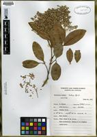 Isotype of Flindersia brassii Hartley & Hyland [family RUTACEAE]