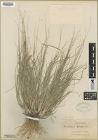 Filed as Bouteloua repens (Kunth) Scribn. & Merr. [family POACEAE]