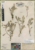 Isotype of Chaenactis thompsonii Cronquist [family ASTERACEAE]