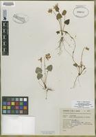 Isotype of Viola oxyodontis [family VIOLACEAE]