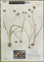 Isotype of Dichelostemma lacuna-vernalis [family ALLIACEAE]