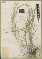 Filed as Panicum plenum A.S. Hitchc. & Chase [family POACEAE]