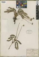 Type of Neogoezia minor Hemsl. [family APIACEAE]