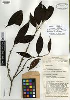Isotype of Rhodamnia pachyloba [family MYRTACEAE]