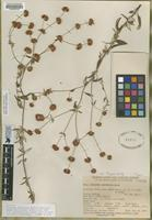 Holotype of Eriogonum parvifolium Smith in Rees ssp. paynei Wolf ex Munz [family POLYGONACEAE]