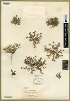 Filed as Microsteris gracilis (Hook.) Greene ssp. humilis (Greene) Brand [family POLEMONIACEAE]