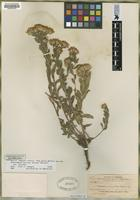 Isotype of Chrysopsis resinolens Nelson [family ASTERACEAE]