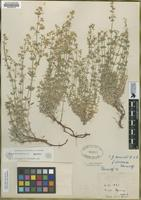 Holotype of Galium desereticum Jones [family RUBIACEAE]