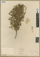Filed as Larrea divaricata auct. non Cav. [family ZYGOPHYLLACEAE]