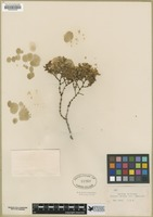Filed as Larrea mexicana [family ZYGOPHYLLACEAE]