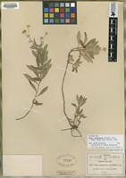 Isotype of Aster jalapensis Fernald [family ASTERACEAE]