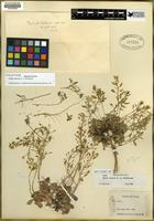 Holotype of Draba zionensis C.L. Hitchc. [family BRASSICACEAE]