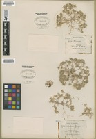 Filed as Gilia demissa A. Gray [family POLEMONIACEAE]