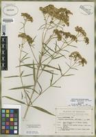 Isotype of Flaveria sonorensis A. M. Powell [family ASTERACEAE]