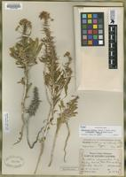 Holotype of Oenothera decorticans var. condensata in ed [family ONAGRACEAE]
